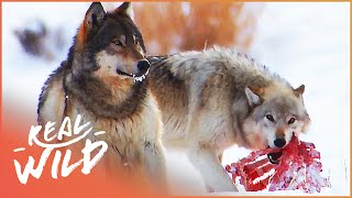 The War Of The Wolf Packs - Part 2 (Wolf Documentary HD) | White Wolf | Real Wild