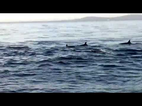dolphin watching in pamilacan island