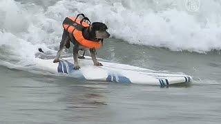 Калифорния: собаки соревнуются в сёрфенге (новости)