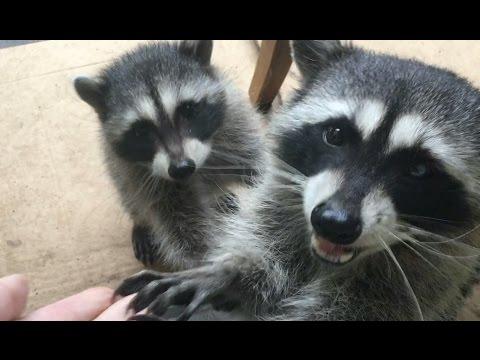 Gracie Raccoon - Part 20  Single Baby