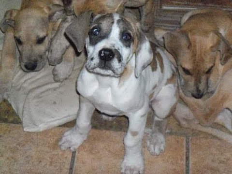 Dane For Sale Puppies Florida Great