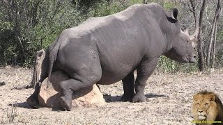 Rhino Loving A Rock