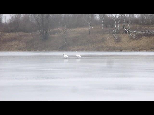 Лебеди на льду 26 января.