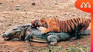 BATALHAS MAIS INCRÍVEIS DE ANIMAIS SELVAGENS