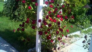 Red Roses White Arch And Blue Sky So  Patriotic