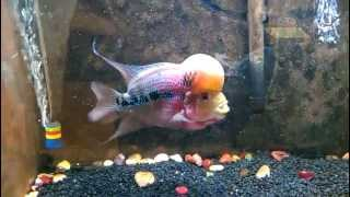 Flower Horn Red Dragon part eating gold fish #2