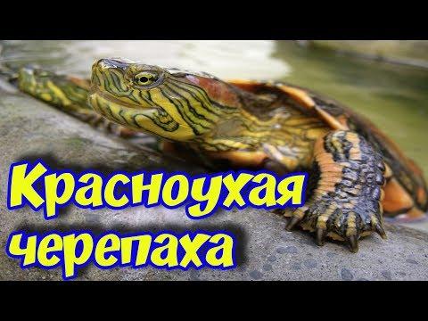 Красноухая черепаха уход и содержание! Обустройство аквариума террариума для красноухой черепахи!
