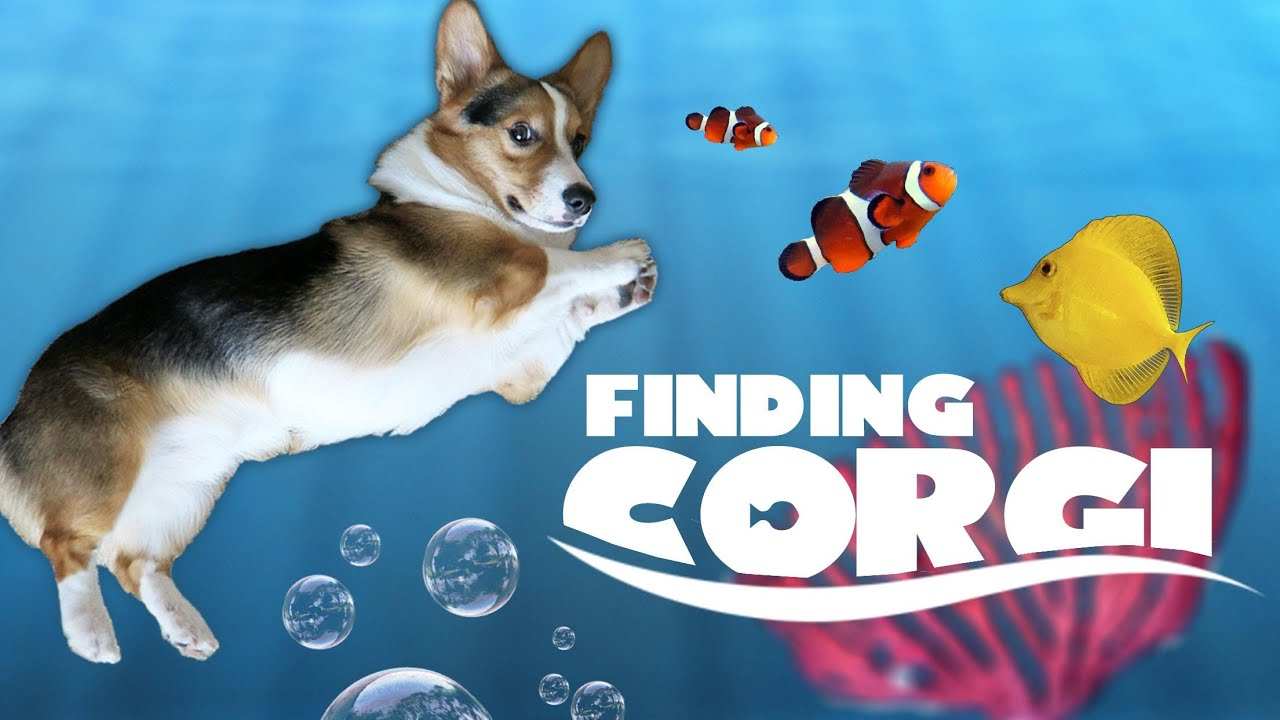 Corgi Cares For New Fish Tank Friends Life After College