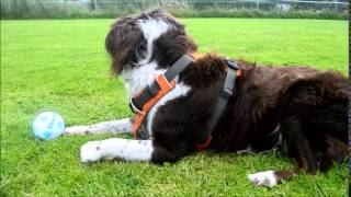 Border Collie X Springer Spaniel First Time Off Lead In Over A Year