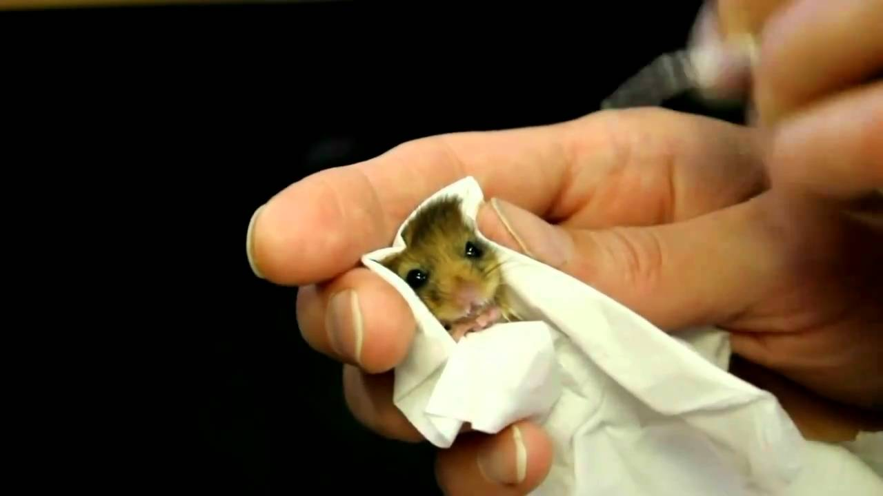 baby dormouse being fed - YouTube
