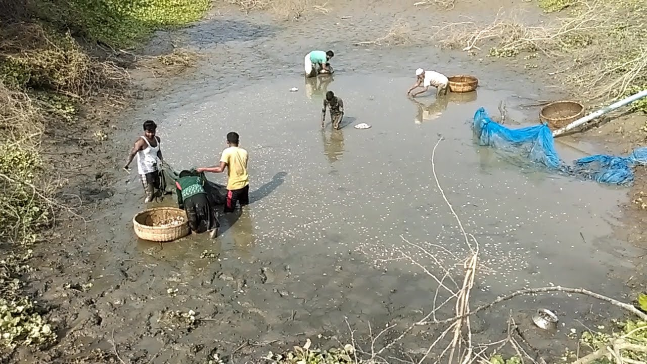Village people catching country fish in a mud water pond for People catching fish