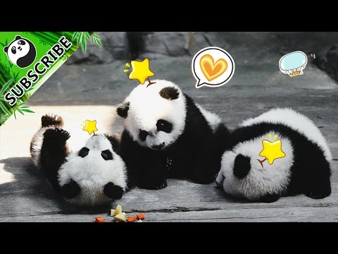 Most hilarious panda moments of the month