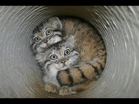 They May Look Like Normal Kittens… But Just Wait Till You See Them All Grown Up