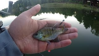 Catching Bass with a LIVE Bluegill
