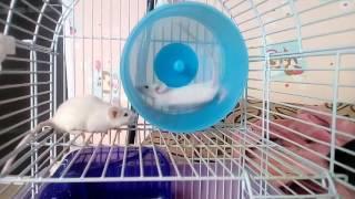 Декоративные мыши бегают в колесе