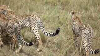 Kenya-Mother cheetah teaching her cubs to hunt