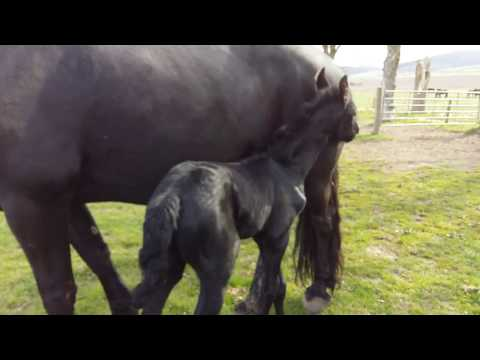 Two day old Friesian colt