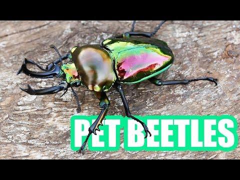 pet beetles youtube