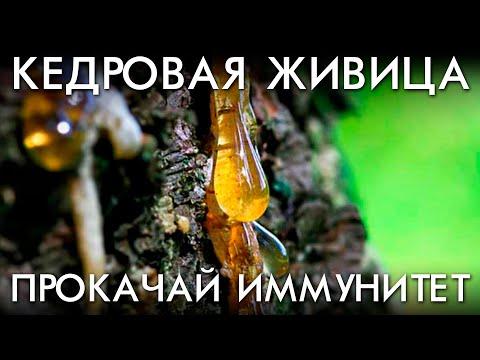 Живица кедра сибирского польза и противопоказания