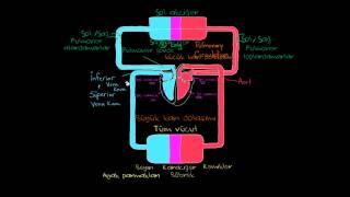 Vücutta Bulunan İki Dolaşım Sistemi