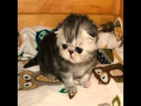 exotic shorthair cat for sale california