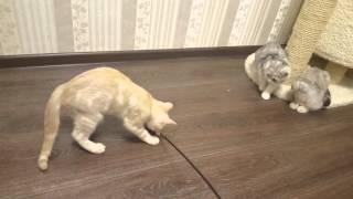 Шотландские котята. Пермь