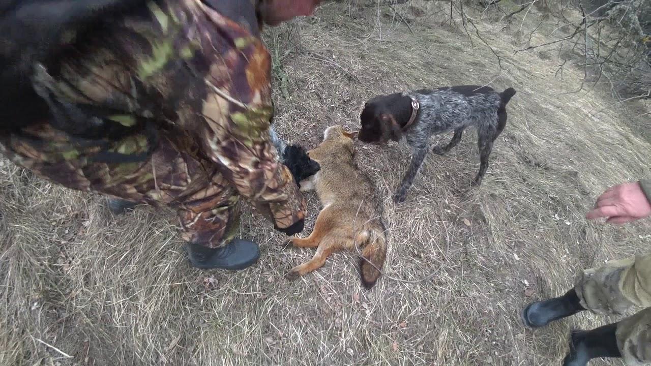Охота на шакала в Ростовской области