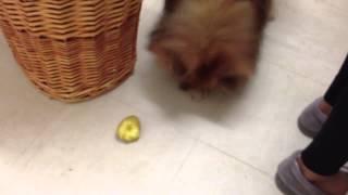 Pomeranian (like Boo) With A Hot Potato