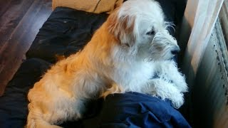Ally The Dog - A Golden Retriever Poodle Mix B Compilation No.41 2014