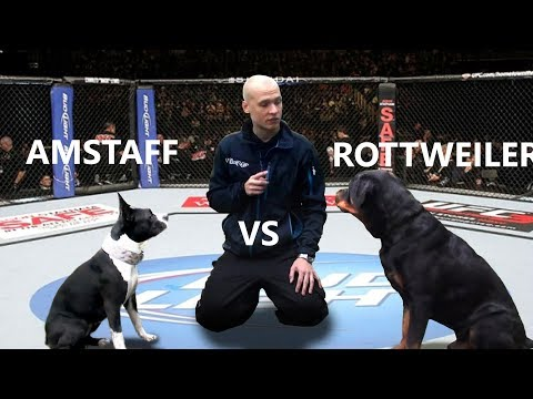 Rottweiler vs Pitbull - Speed Competition + Genetic Differences
