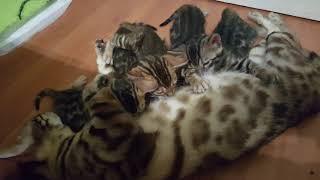 Первый помет Фестиваля и Моники- котята едят от мамы.