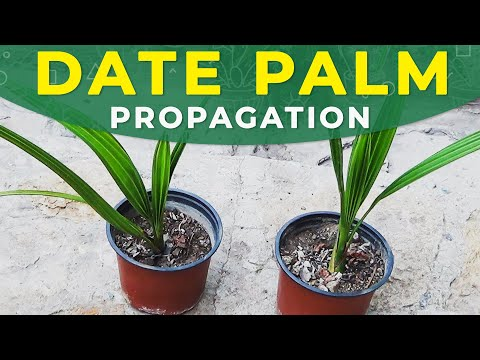 GROWING DATE PALM FROM SEEDS | PROPAGATION, CARE FOR SEEDLINGS