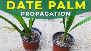 Propagation of date palms, care