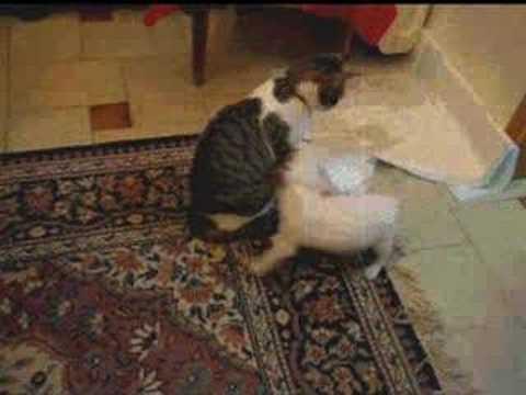 jack russell terrier milou