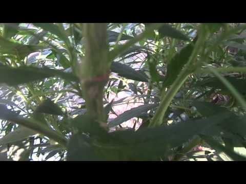 massive 8 foot cannabis plants august 1st 2012