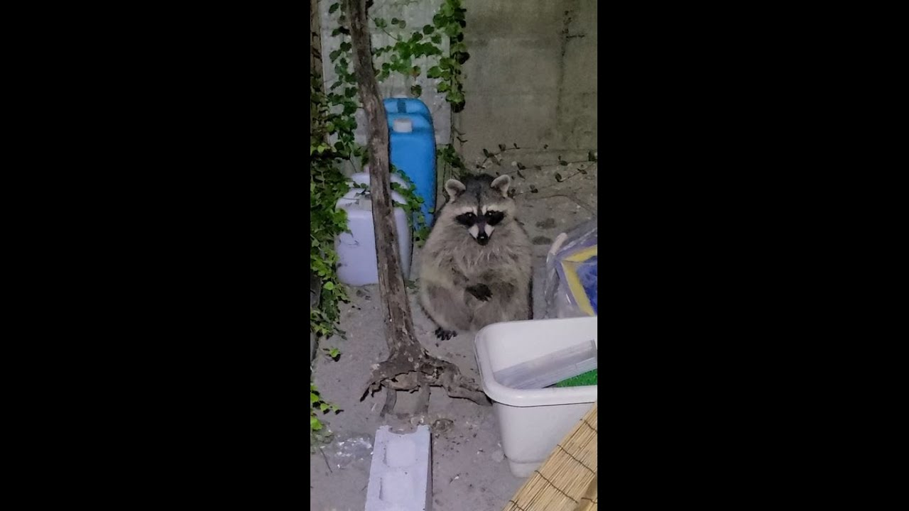 【#shorts】庭でペットが野生のアライグマに捕食されそうになる衝撃映像