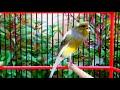 Ampuh Masteran Burung Kenari Gacor Untuk Burung Kicauan  Mp3 - Mp4 Download