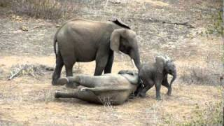 Baby Elephant to the Rescue