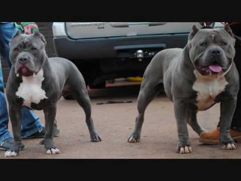 American Bully,blue pitbull,blue pitbulls,blue pitbull for sale,blue pitbull