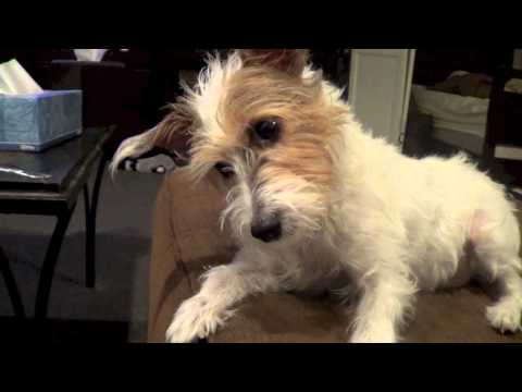 Jack Russell Terrier reaction while watching a dog cry on an iPad. Adorable!!!!!!!!