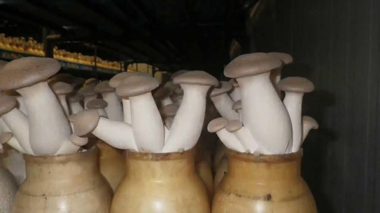 Правильное выращивание белых грибов в теплице 34