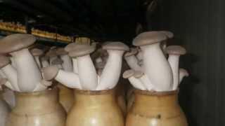 Степной белый гриб - Еринги. Так растет в банках(Гриб Эринги. Более подробную информацию о выращивании этого гриба и других можно узнать на сайте Клуб Люби..., 2013-06-17T08:12:21.000Z)