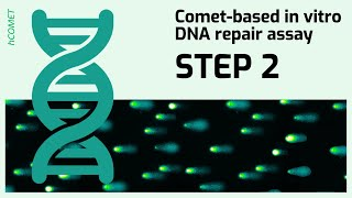 STEP 2: Protein extract preparation // Comet-based in vitro DNA repair assay