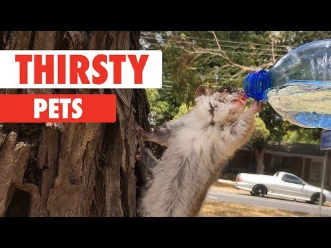 Thirsty Pets