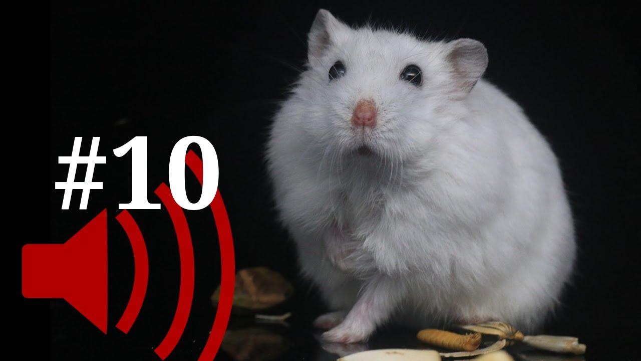 helminți de la șoareci de laborator