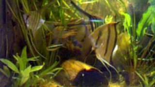 angelfish zebra Thumbnail