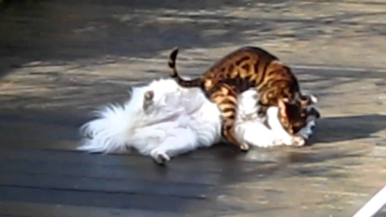 My Bengal cat cleans, then SPRAYS the dog during a deadly fight ...