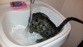 Бенгальская кошка ღღღ Приучаем ее к воде! Часть 3