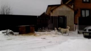 Злые собаки. Чисто случайное видео!