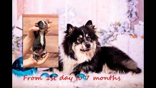 Finnish Lapphund. Stella. 1st day to 7months growth. Suomenlapinkoira